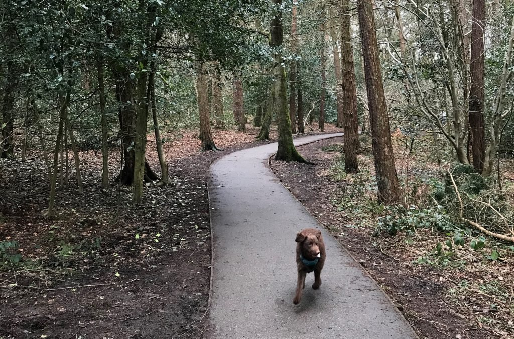 A small brown dog running towards the camera along a path through a woods